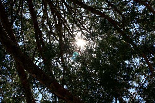 Sun thru pines