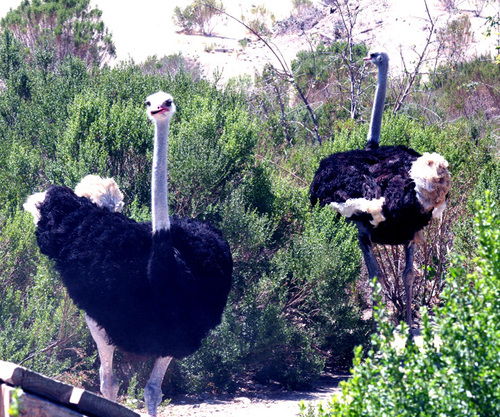 Ollie_and_oswald_ostrich