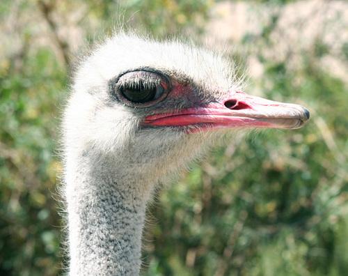 Ostrichs_eyes_are_bigger_than_their_brai